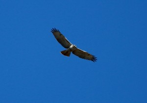 Red-Tailed Hawk, IBSP