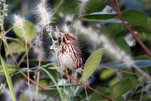 Song Sparrow IMG_9858_1