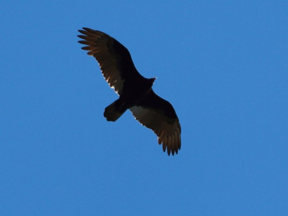 Turkey Vulture, IBSP