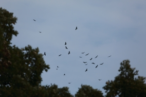 Turkey Vultures kettling, Miller Meadow