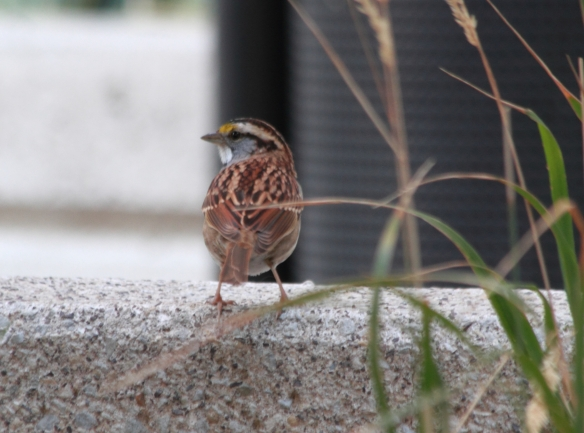 White-Throated Sparrow IMG_7517