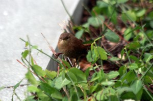 Winter Wren IMG_9616
