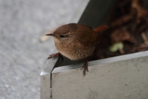 Winter Wren IMG_9623