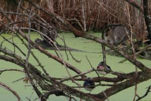 Wood Ducks and Racoons IMG_8094_1