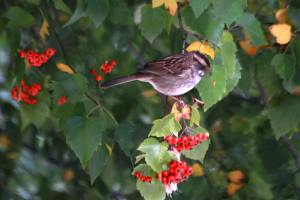 WT Sparrow Berry Eater IMG_0101_1