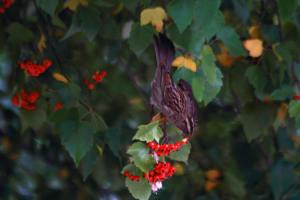 WT Sparrow Berry Eater IMG_0106_1