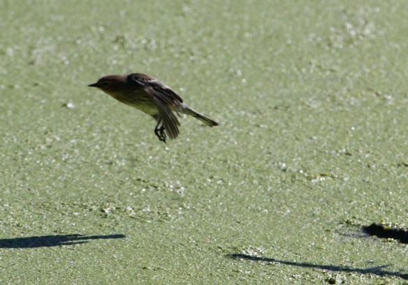 Yellow-Rumped IMG_8515_1