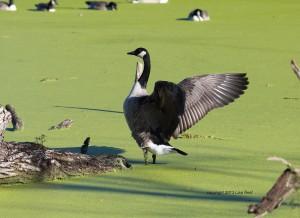 Canada Goose, Chicago Portage