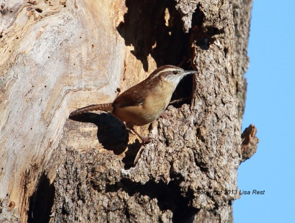 Carolina Wren, Chicago Portage