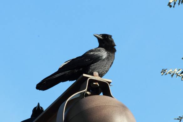 Crow IMG_1712_1