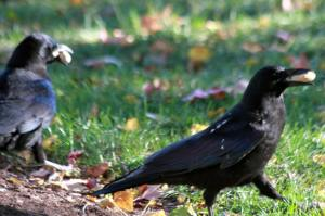 Crows with peanuts