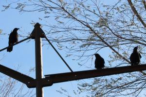 Crows in Millennium Park