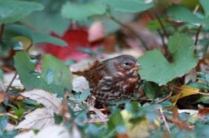 Fox Sparrow IMG_0969_1
