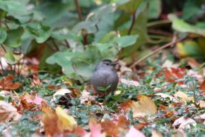 Gray Catbird IMG_1039_1