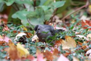 Gray Catbird IMG_1044_1