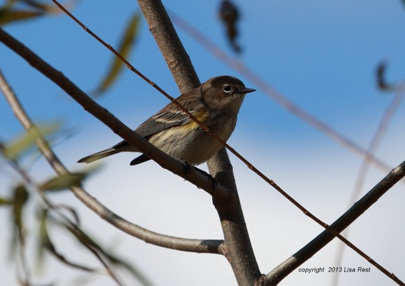 Yellow-Rumped Warbler, McGinnis Slough