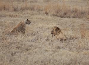 Lions, Ngorongoro Crater, Tanzania