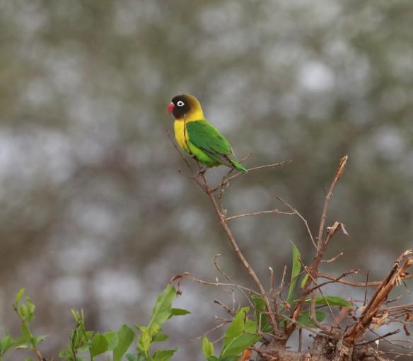 Yellow-Collared Lovebird, Tarangire National Park, Tanzania