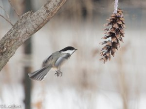 Black-Capped Chickadee 12-25-13-0935