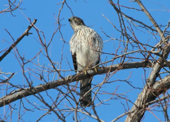 Cooper's Hawk, Millennium Park