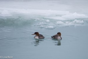 Female Common Mergansers 12-25-13-0915