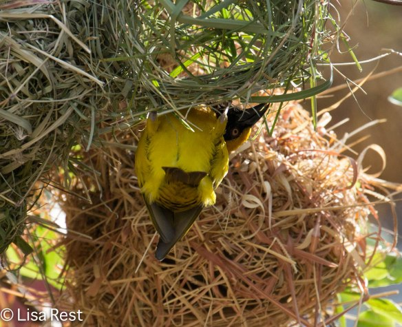 Speke's Weaver at nest