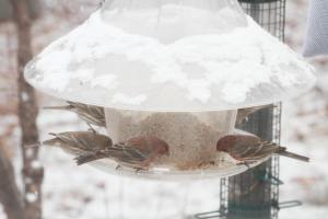 House Finches through the back window