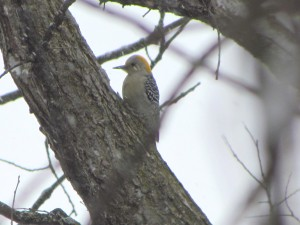"""Yellow"" Red-Bellied Woodpecker"