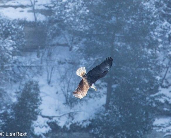 Bald Eagle L&D 1-19-14 1723.jpg-1723