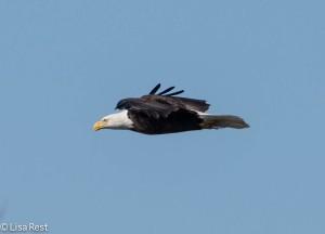 Bald Eagle L&D 1-19-14 1774.jpg-1774