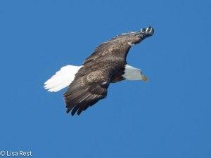 Bald Eagle L&D 1-19-14 1794.jpg-1794