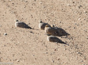 Chestnut-Bellied Sandgrouse 11-23-13 7525.jpg-2