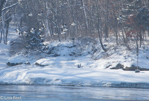 Common Mergansers flying on the Illinois River