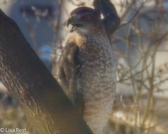 Cooper's Hawk, 1-26-14