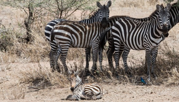 cropped-burchells-zebras-11-23-13-7857-2.jpg