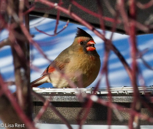 Female Cardinal at Home 1-25-14 3437.jpg-3437