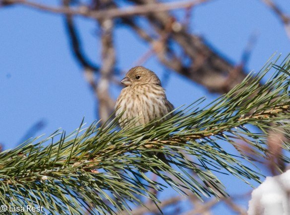Female House Finch 2596.jpg-2596