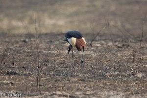 Gray-Crowned Crane 11-21-13 5675.jpg-2