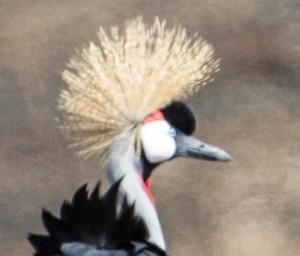 Gray-Crowned Crane 11-21-13 5682.jpg-2