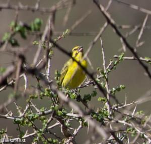 Grosbeak Canary