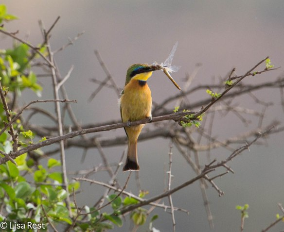 Little Bee-Eater-4653.jpg-4653