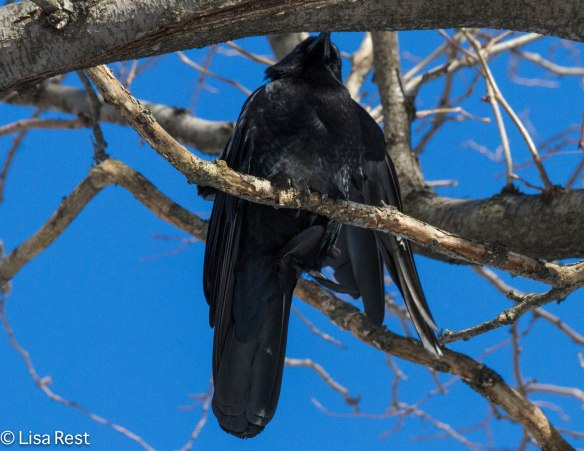 White-winged Crow 1-22-14 3323.jpg-3323