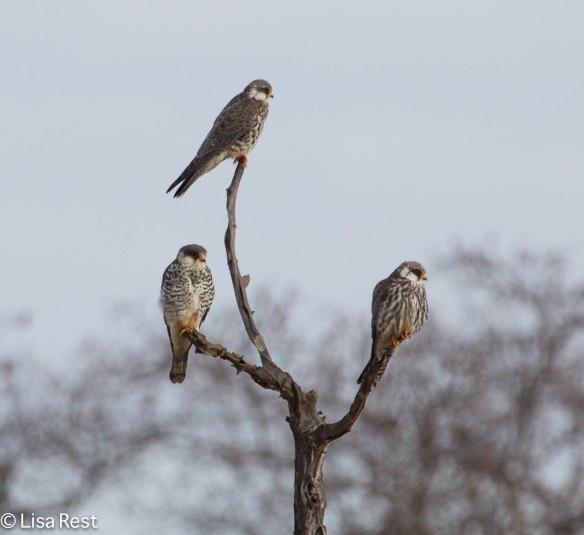 Amur Falcons 1-26-13 9306.jpg-2