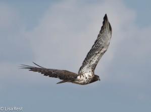 Black-Breasted Snake Eagle