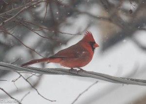 Cardinal 2-1-14 3922.jpg-3922