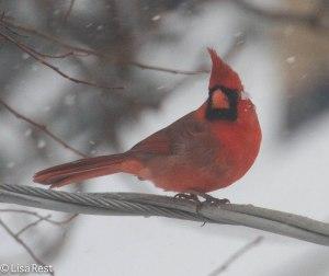 Northern Cardinal 2-1-14