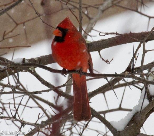 Cardinal 2-1-14 4021.jpg-4021