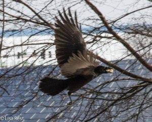 Crow Millennium 2-18-14 5793.jpg-5793