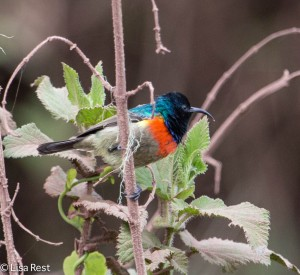 Eastern Double-Collared Sunbird 1-25-13 8900.jpg-2