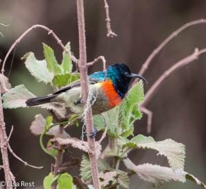 Eastern Double-Collared Sunbird 1-25-13 8900.jpg-2